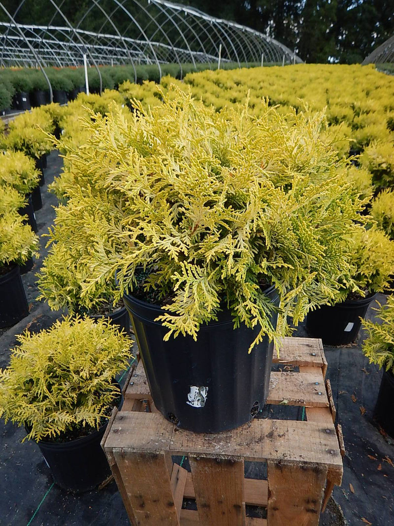 Chamaecyparis pisifera 'Vintage Gold' - #2 Crop Shot for 2017-35