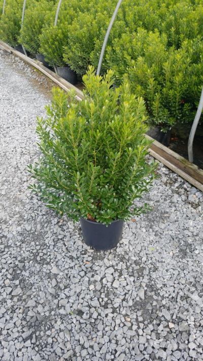 Ilex glabra 'Shamrock' - 3 Gal. Crop Shot for 2020-38