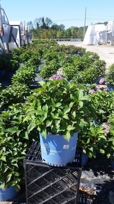 Hydrangea macrophylla Endless Summer® 'Bloomstruck' - 3 Gal. Crop Shot for 2019-34