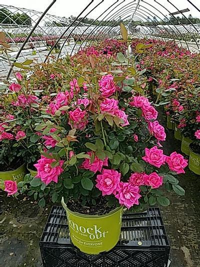 Rosa 'Double Pink Knockout' - 3 Gal. Crop Shot for 2020-21
