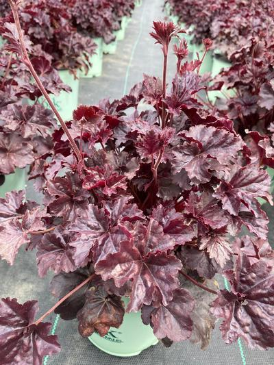 Heuchera 'Obsidian' - 8 In. Crop Shot for 2020-18