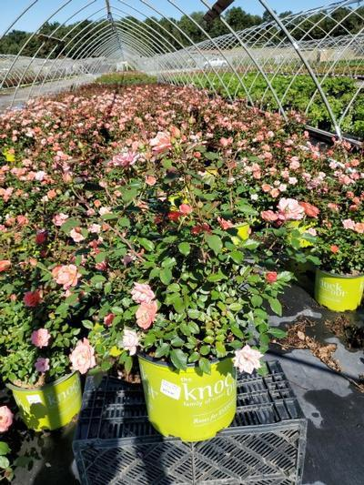 Rosa Coral Knock Out® - 3 Gal. Crop Shot for 2020-34