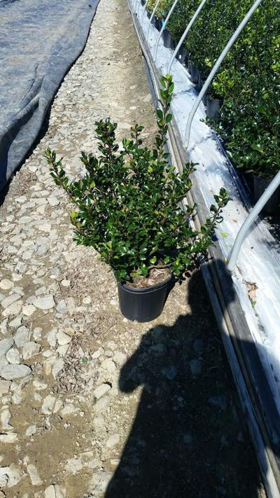 Ilex x meserveae 'Blue Prince' - 2 Gal. Crop Shot for 2019-37