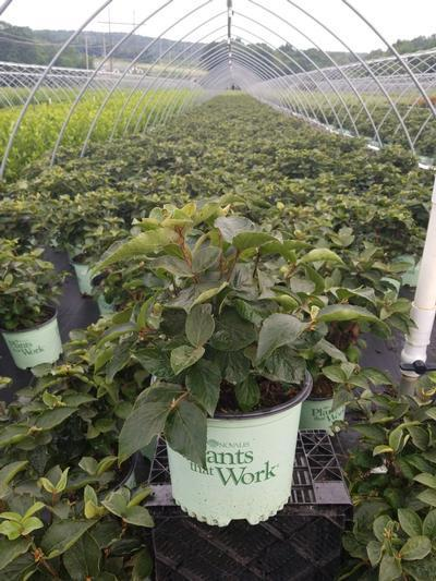 Viburnum carlesii Spice Island® NEW - 3 Gal. Crop Shot for 2020-30