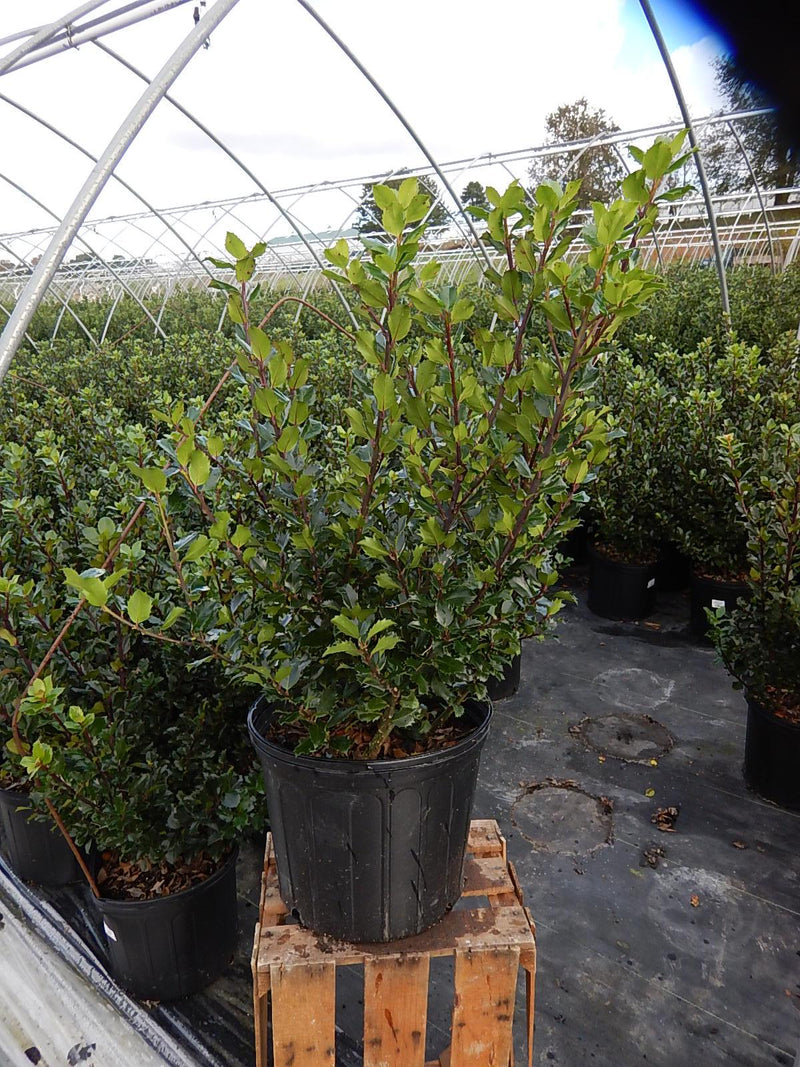 Ilex X meserveae 'Blue Prince' - #3 Crop Shot for 2017-42