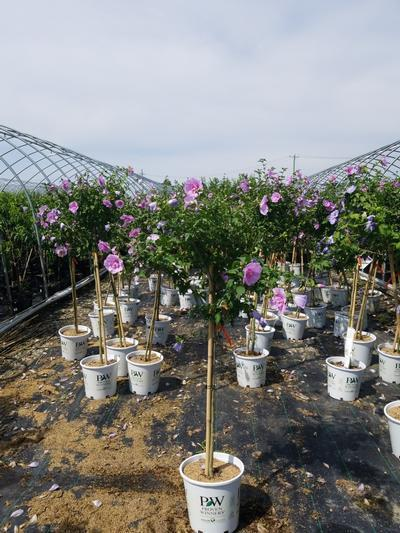 Hibiscus syriacus 'Lavender Chiffon' -Tree Form - 7 Gal. Crop Shot for 2020-30