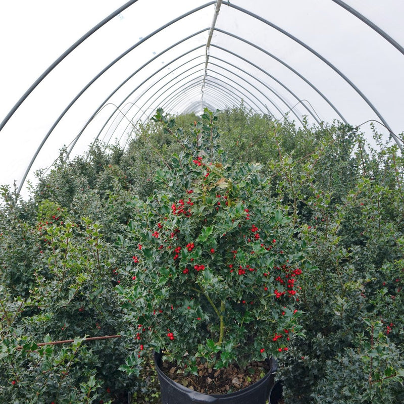Ilex X rutzan 'Red Beauty' - #5 Crop Shot for 2018-14