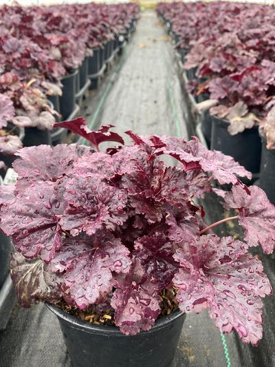 Heuchera villosa 'Black Sea' - 1 Gal. Crop Shot for 2020-17