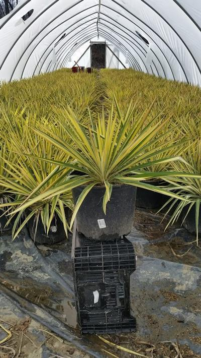 Yucca filamentosa 'Color Guard' - 3 Gal. Crop Shot for 2019-14