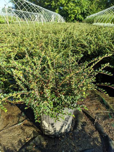 Cotoneaster adpressus 'Little Gem' - 2 Gal. Crop Shot for 2020-35