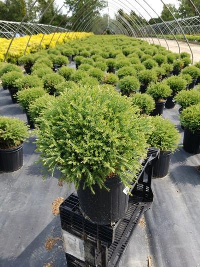 Thuja occidentalis 'Mr. Bowling Ball' - 2 Gal. Crop Shot for 2020-37