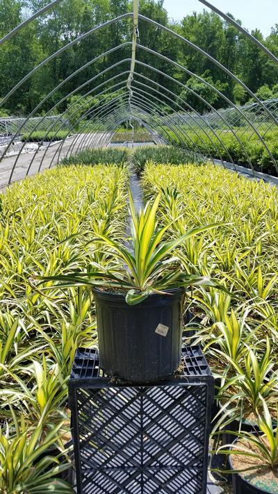 Yucca filamentosa 'Color Guard' - 3 Gal. Crop Shot for 2019-22