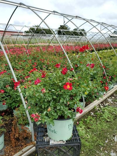 Rosa Red Streamer - Climber NEW - 3 Gal. Crop Shot for 2020-36