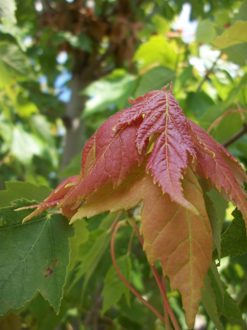 Acer rubrum 'Franks Red' - 15 Gal.