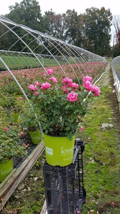 Rosa 'Double Pink Knockou't - 2 Gal. Crop Shot for 2019-39