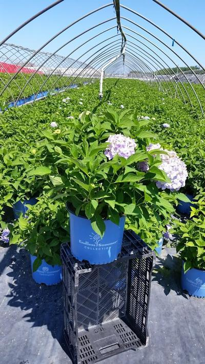 Hydrangea macrophylla Endless Summer® 'The Original' - 3 Gal. Crop Shot for 2019-28