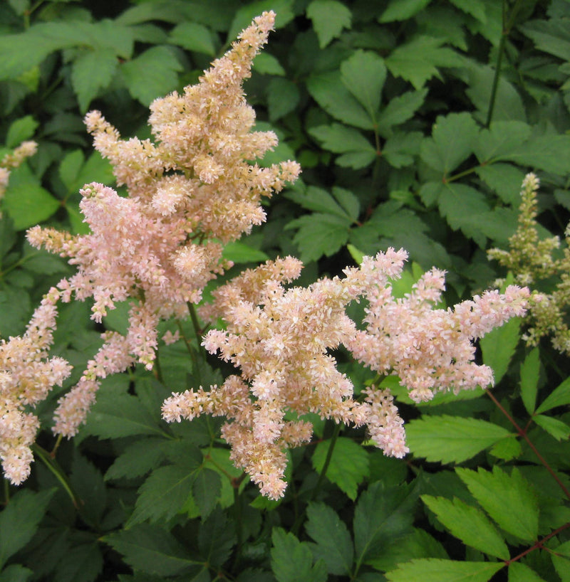 Astilbe japonica 'Peach Blossom' - 8 Inch