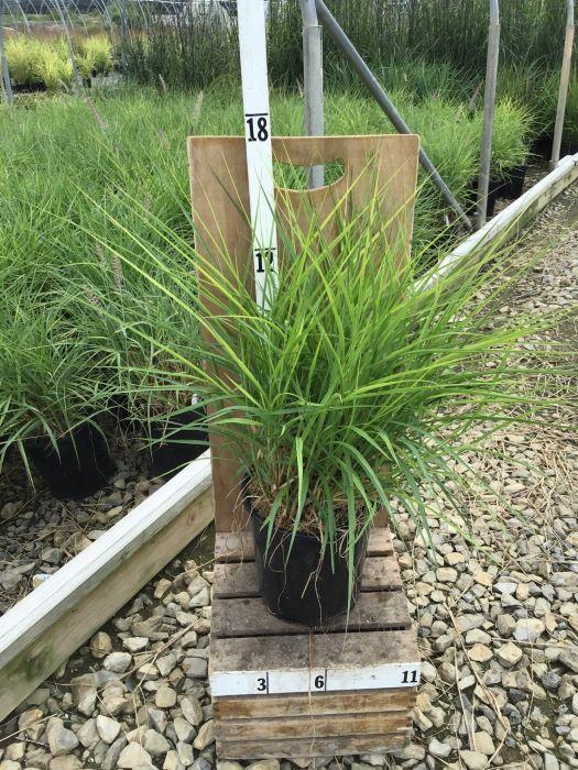Pennisetum alopecuroides 'Karley Rose' - 8 Inch Crop Shot for 2020-36