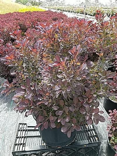 Cotinus coggygria 'Velveteeny™' - 5 Gal. Crop Shot for 2020-24