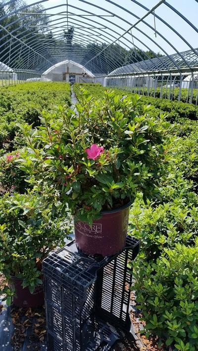 Rhododendron (Azalea) Encore® 'Autumn Sangria™' - 3 Gal. Crop Shot for 2019-32