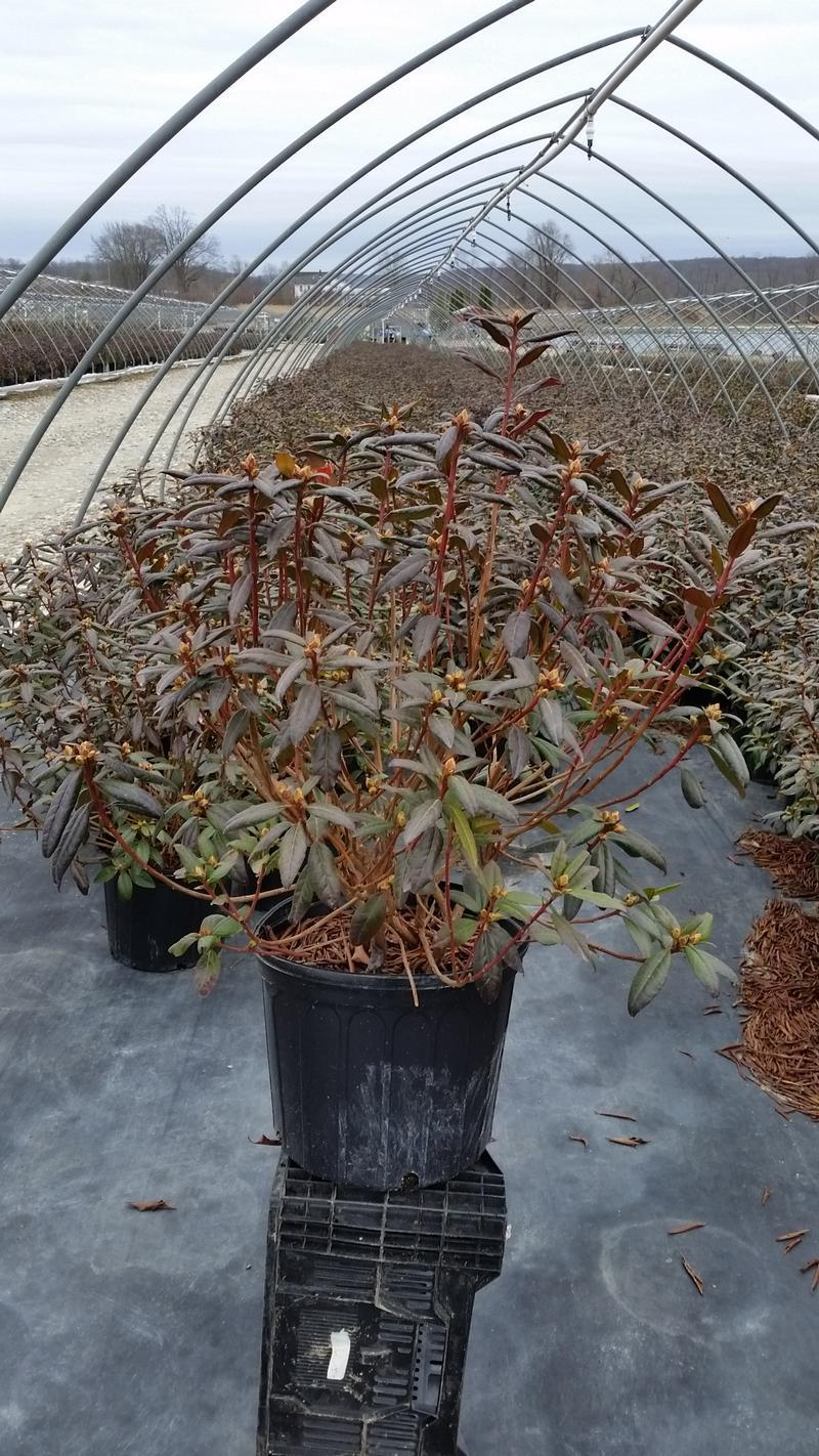 Rhododendron 'Landmark' - 3 Gal. Crop Shot for 2019-14
