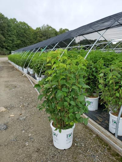 Viburnum dentatum 'Blue Muffin®' - 5 Gal. Crop Shot for 2020-34