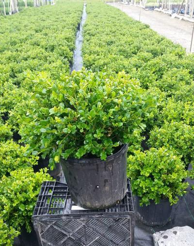 Buxus microphylla 'Winter Gem' - 3 Gal. Crop Shot for 2019-24