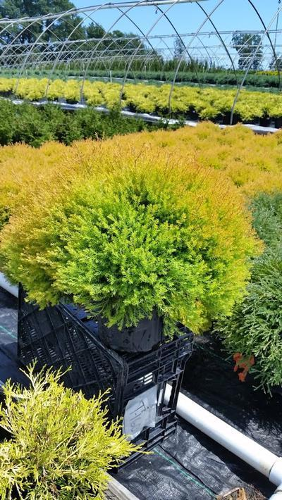 Thuja occidentalis 'Rheingold' - 2 Gal. Crop Shot for 2019-31