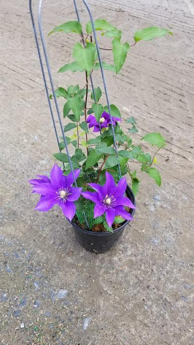 Clematis Olympia™ NEW - 8 In. Crop Shot for 2020-22