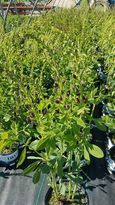 Baptisia DECADENCE® 'Dutch Chocolate' - 1 Gal. Crop Shot for 2020-22