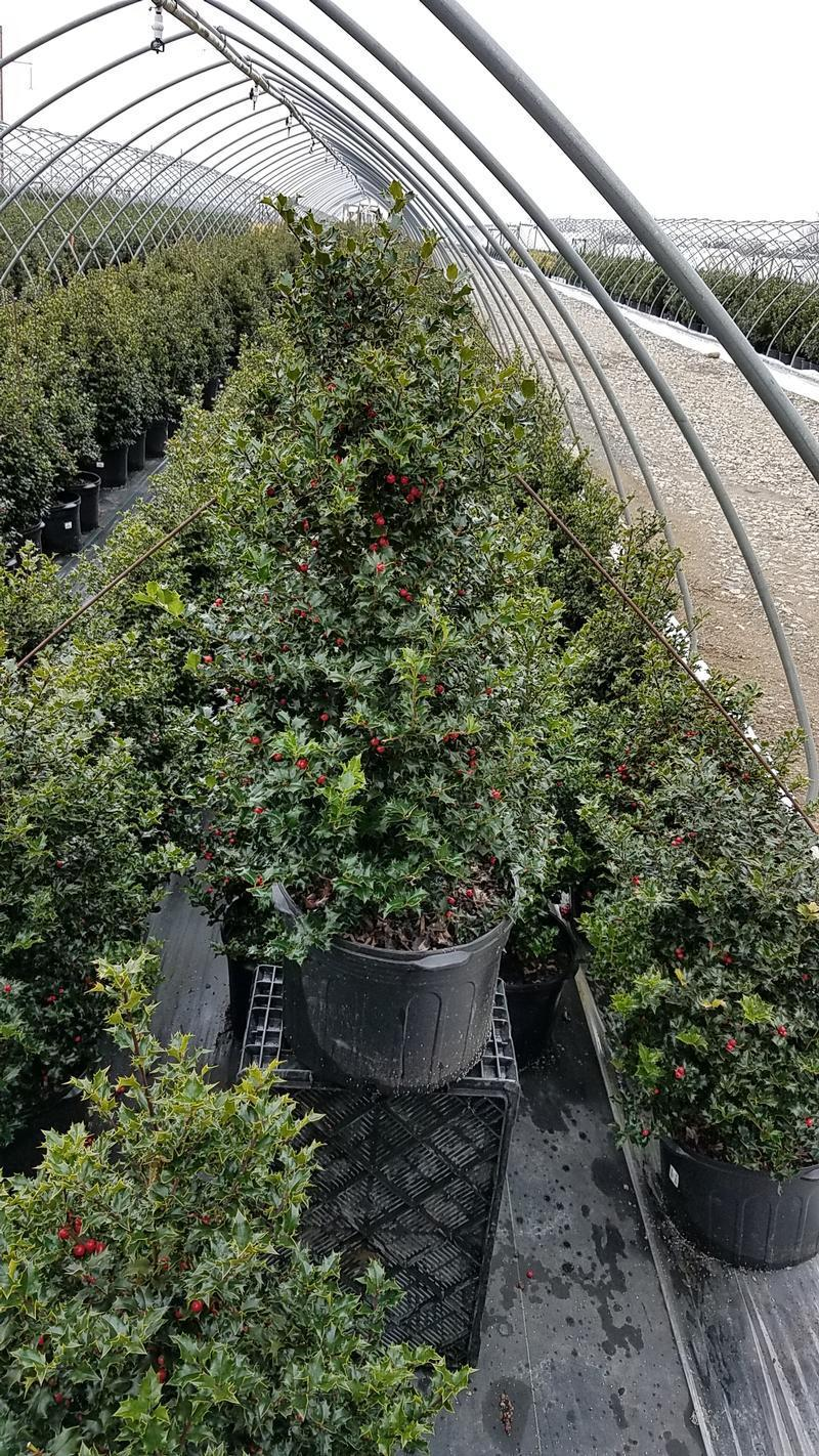 Ilex x rutzan 'Red Beauty' - 5 Gal. Crop Shot for 2019-14