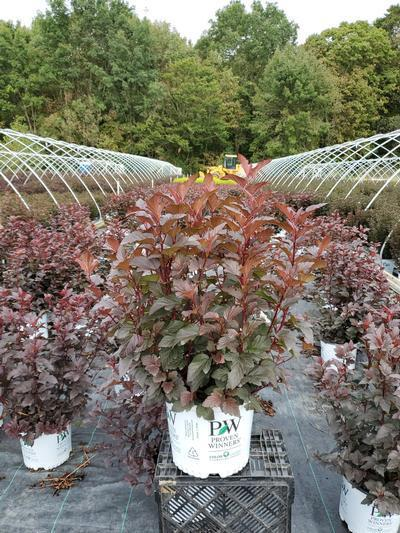 Physocarpus opulifolius 'Ginger Wine™' - 3 Gal. Crop Shot for 2020-37