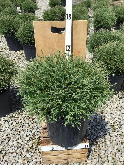 Thuja occidentalis 'Mr. Bowling Ball' - 3 Gal. Crop Shot for 2020-28