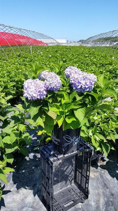 Hydrangea macrophylla 'Grenan' - 3 Gal. Crop Shot for 2019-29