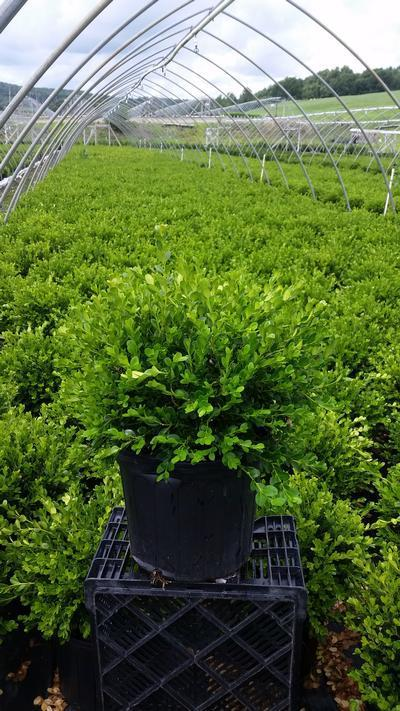 Buxus microphylla 'Winter Gem' - #3 Crop Shot for 2018-30