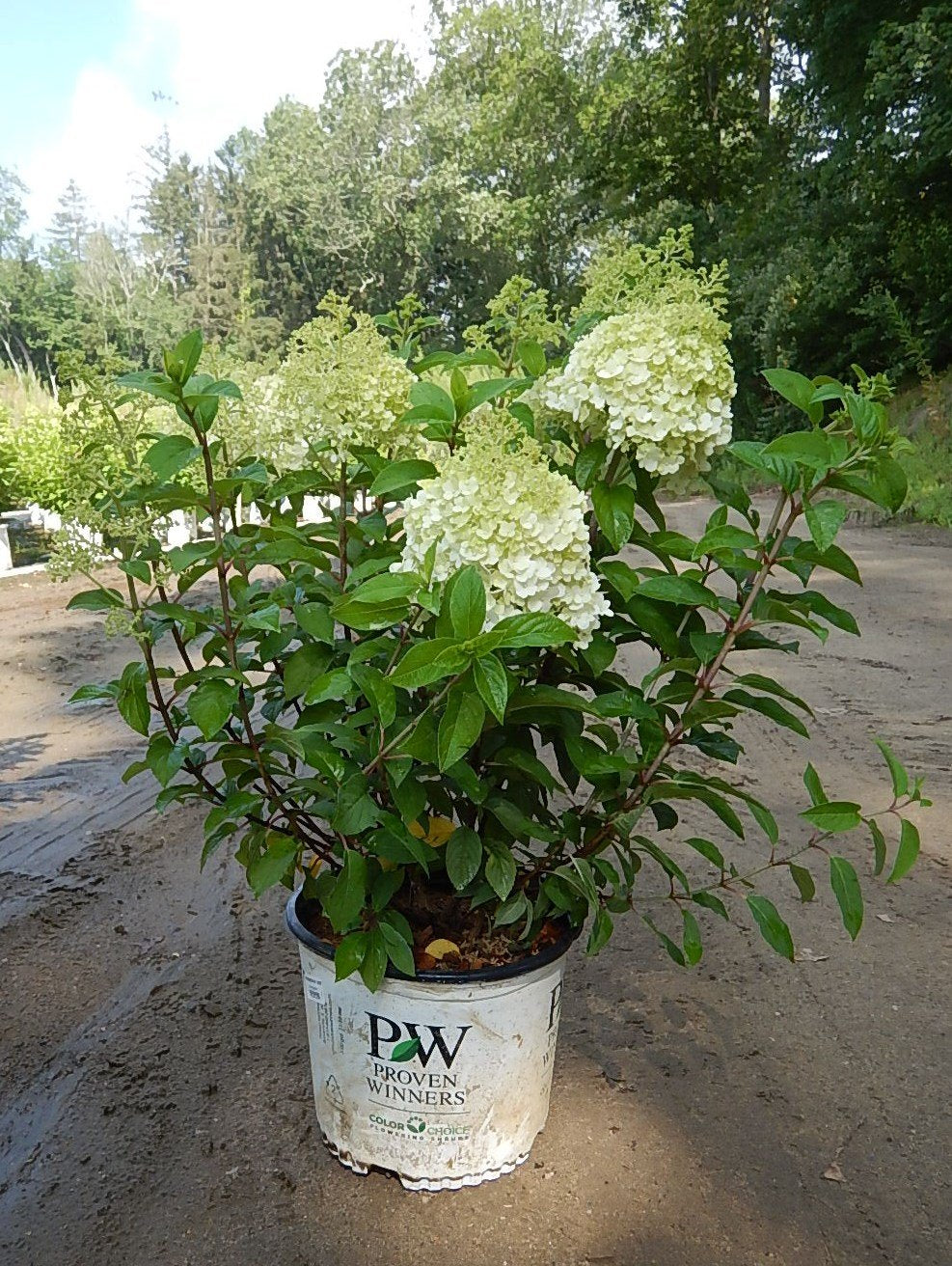 hydrangea paniculata 39 bobo 39 3 gal shrubbucket wholesale. Black Bedroom Furniture Sets. Home Design Ideas