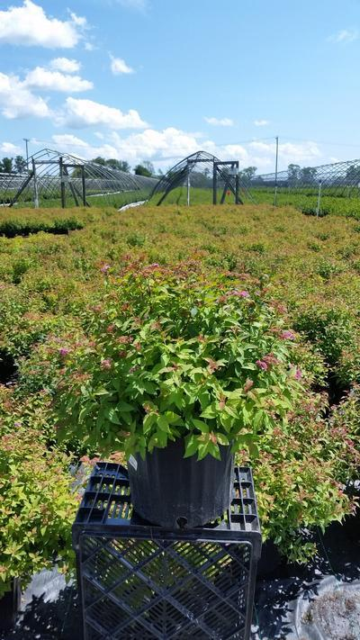 Spiraea japonica 'Magic Carpet' - 3 Gal. Crop Shot for 2019-31