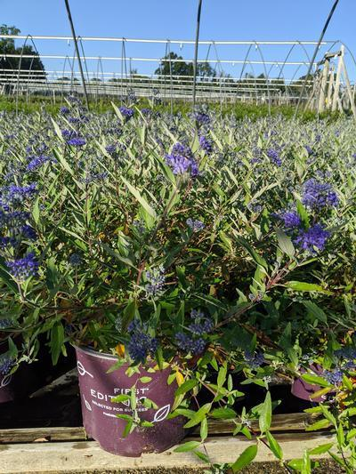 Caryopteris x clandonensis 'Sapphire Surf™' - 3 Gal. Crop Shot for 2020-35