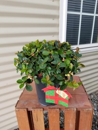 Gaultheria procumbens 'Peppermint Pearl' - 1 Gal. Crop Shot for 2020-41