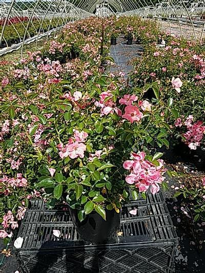 Rosa FLOWER CARPET® 'Coral' - 2 Gal. Crop Shot for 2020-24