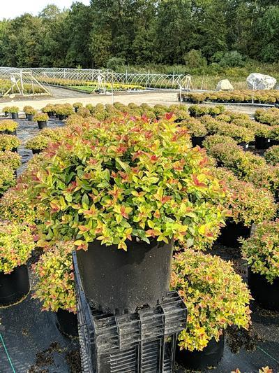 Spiraea japonica 'Magic Carpet' - 3 Gal. Crop Shot for 2020-37