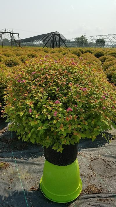 Spiraea japonica 'Magic Carpet' - #3 Crop Shot for 2018-33