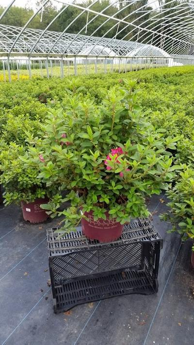 Rhododendron (Azalea) Encore® 'Autumn Sangria™' - 3 Gal. Crop Shot for 2019-36