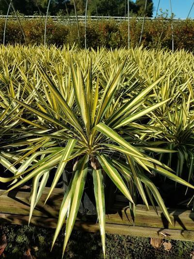 Yucca filamentosa 'Color Guard' - 3 Gal. Crop Shot for 2019-39