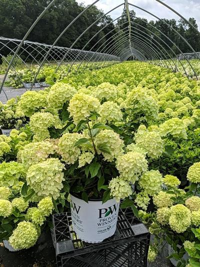 Hydrangea paniculata 'Little Lime®' - 2 Gal. Crop Shot for 2020-29