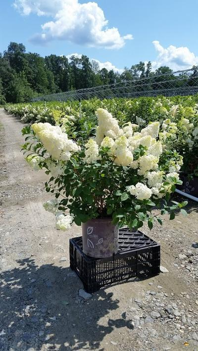 Hydrangea paniculata 'Strawberry Sundae®' - 5 Gal. Crop Shot for 2019-29