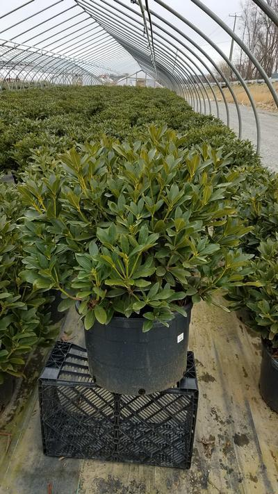 Rhododendron catawbiense 'Cunninghams White' - 10 Gal. Crop Shot for 2020-12