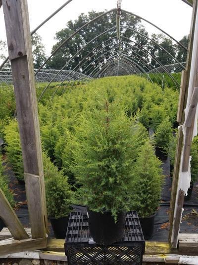 Juniperus communis 'Gold Cone' - 2 Gal. Crop Shot for 2020-31