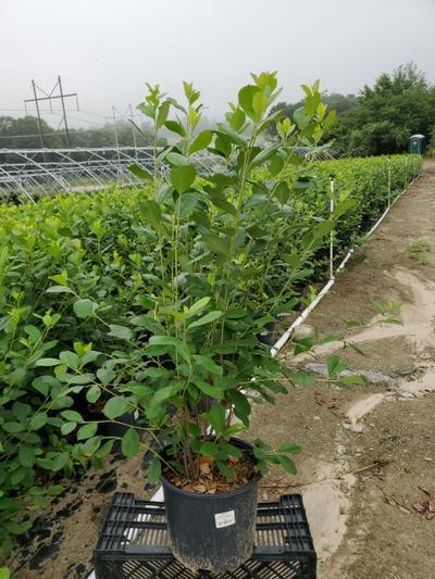 Aronia arbutifolia 'Brilliantissima' - 3 Gal. Crop Shot for 2020-27