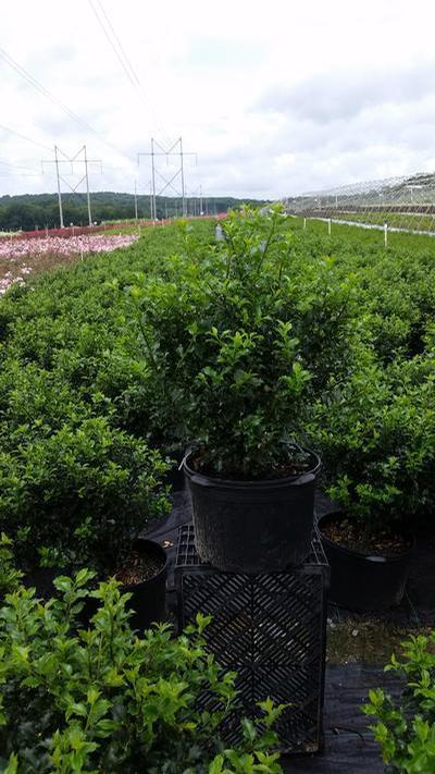 Ilex X meserveae 'Blue Princess' - #5 Crop Shot for 2018-31